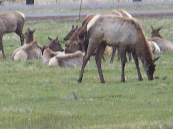 Sunriver Resort: the herd