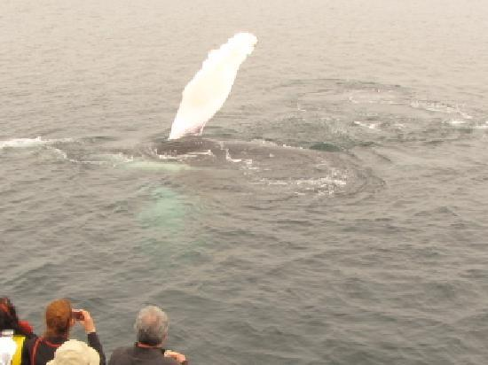 Mariner Cruises Whale and Seabird Tours: humpback flipper slapping beside our boat
