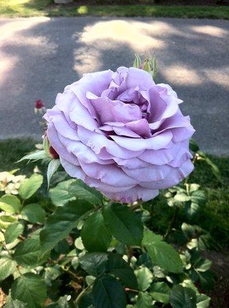 America's Hub World Tours: international rose test garden