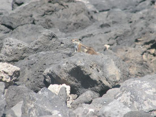 Barcelo Fuerteventura Thalasso Spa: chipmonks 10 min walk from hotel