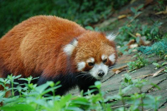 Giant Panda Breeding Research Base (Xiongmao Jidi): Red panda