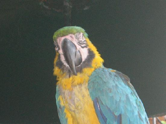 Santo Tomas Hotel: pappagallo del hotel