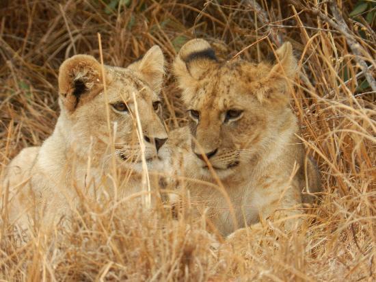 Wildlife Kenya Safaris - Day Trips: Young lions
