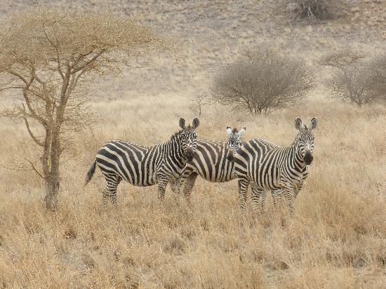 Wildlife Kenya Safaris - Day Trips: Zebra