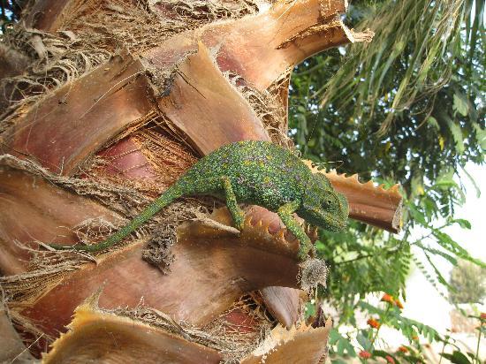 Rebali Riads: Chameleon in the garden