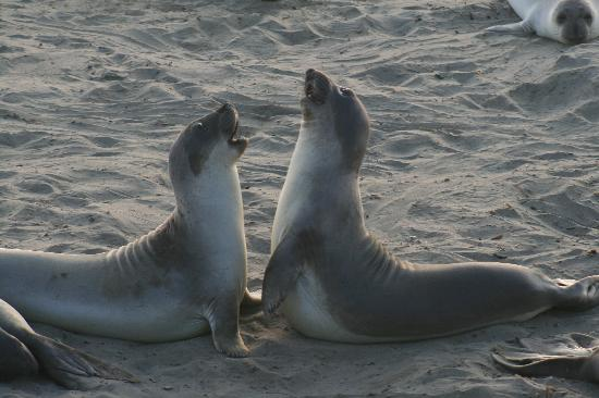 Piedras Blancas: Seals facing off