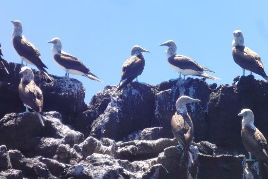 หมู่เกาะกาลาปาโกส, เอกวาดอร์: Blue footed Boobies
