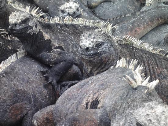 หมู่เกาะกาลาปาโกส, เอกวาดอร์: Marein Iguanas