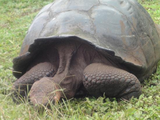 หมู่เกาะกาลาปาโกส, เอกวาดอร์: Galapagos tortoise