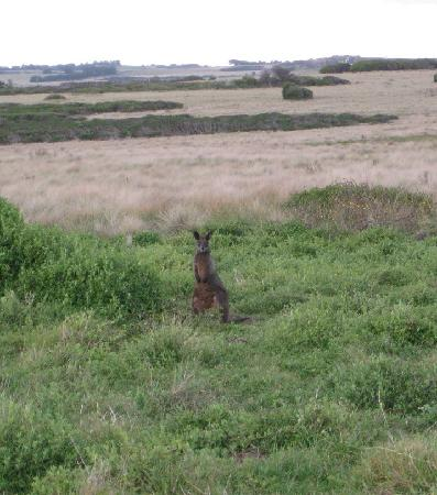 Phillip Island Nature Parks - Penguin Parade: Burrows and wallaby