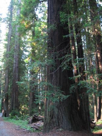 Redwood National Park: Girant redwoods