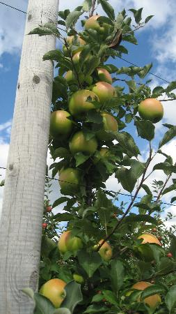 Tougas Family Farm: Apples!