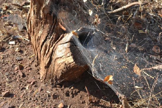 Impalila Island: Funnel spider web