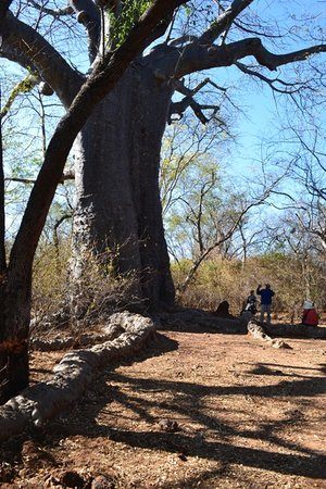 Katima Mulilo, Namibia: Boab tree