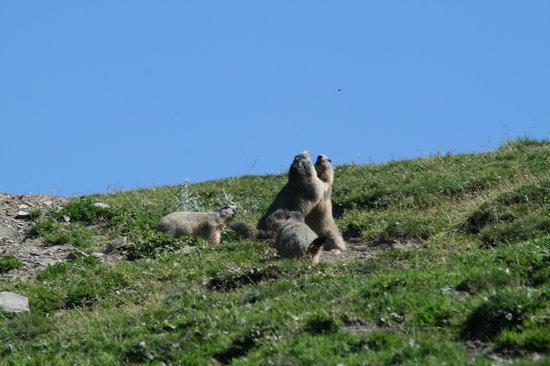 Locanda degli Elfi: Marmotte che giocano