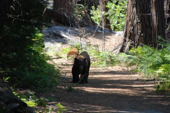 Yosemite Valley: A bear at Yosemite