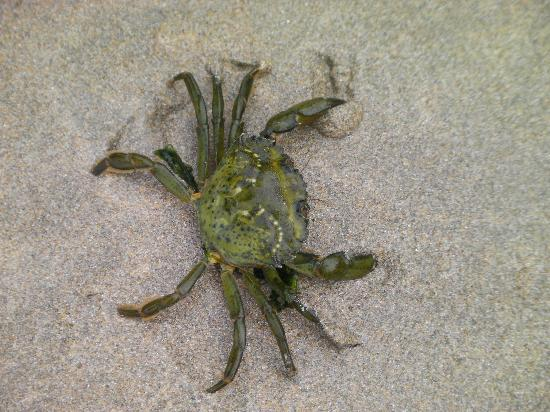 Perran Sands Holiday Park - Haven: A very Angry Crab