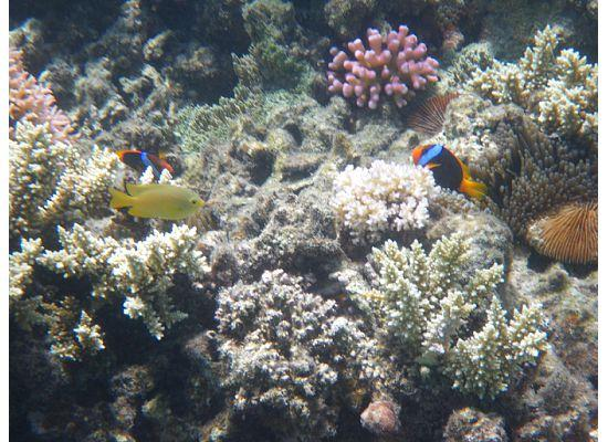 Lizard Island Resort: Black Anemonefish Mermaid Beach