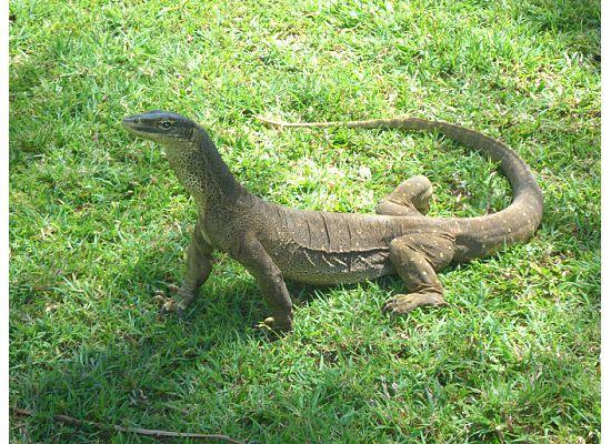 Lizard Island Resort: Gould's Monitor Lizard