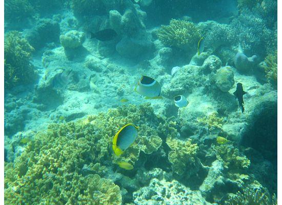 Lizard Island Resort: Saddled and Black Backed Butterfly Fish off Osprey Island