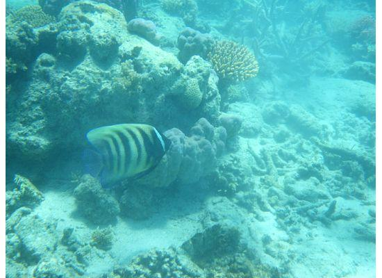 Lizard Island Resort: Six Banded Angelfish Mermaid Beach