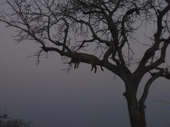 Camp Shonga: leopard in a tree