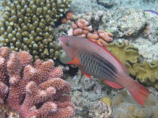Calypso Pure Snorkel: fish