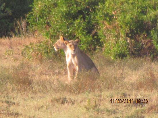 Barracuda Inn: attacco di leonesse a gazzelle