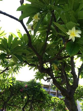 Ka'anapali Beach Hotel: one of many Plumeria trees