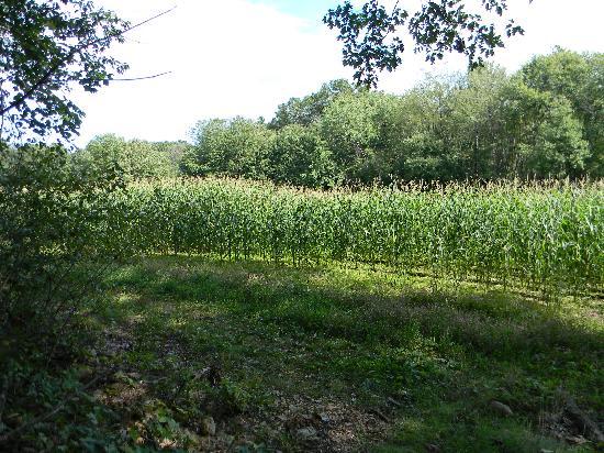 Great Brook Farm State Park: corn field