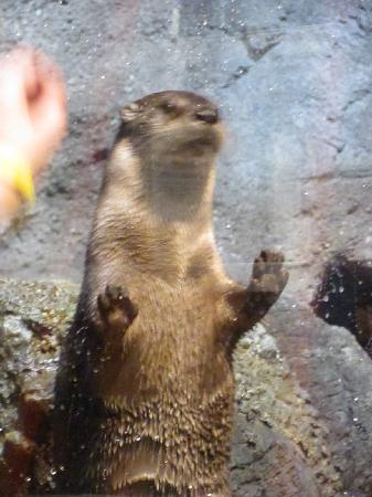 The Wild Center: Curious otter!
