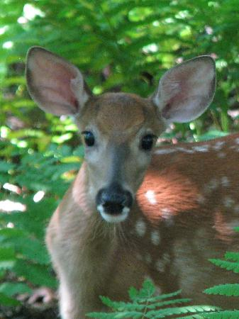 Big Meadows Lodge: Deer (Stony Man Mountain)