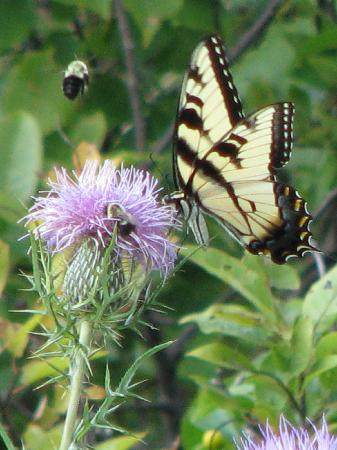 Big Meadows Lodge: Swallowtail Butterfly (Big Meadow)