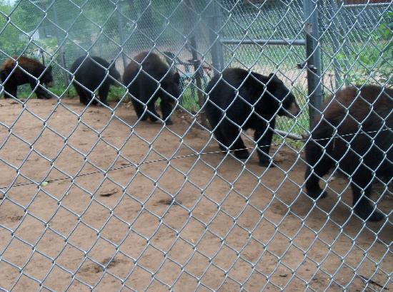 Oswald's Bear Ranch: Bears Dancing