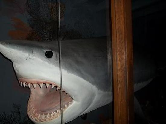 Shark Attack: Side of the great white shark head