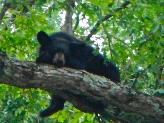 Big Meadows Lodge: Bears on the drive!!