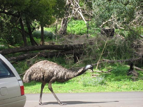 Tower Hill Wildlife Reserve: Encounter with first emu