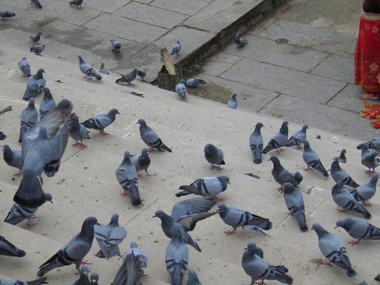 Pushkar Lake: pigeons on lakeside