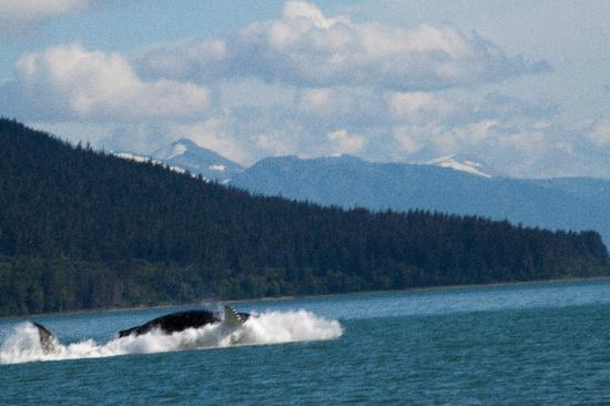 Harv and Marv's Outback Alaska: An Orca enjoying herself