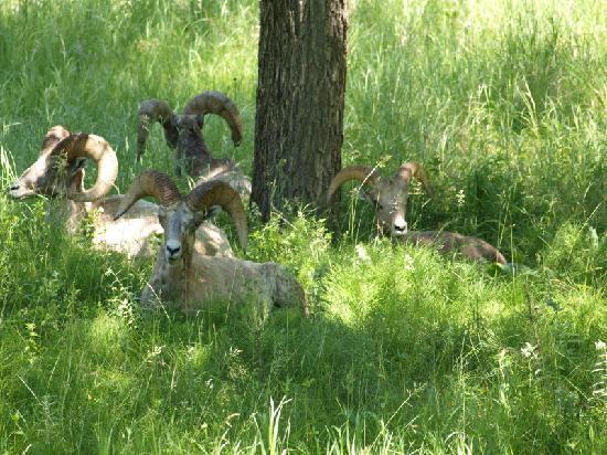 Bighorns im Custer State Park