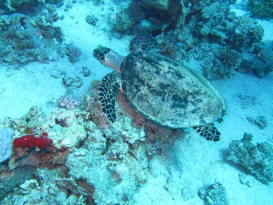 Scuba Hurghada Diving Center: nice turtle