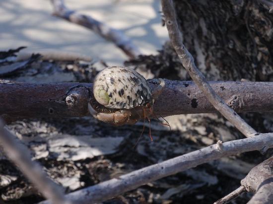คุรีดุ ไอแลนด์ รีสอร์ท แอนด์ สปา: Friendly neighbourhood hermit crab
