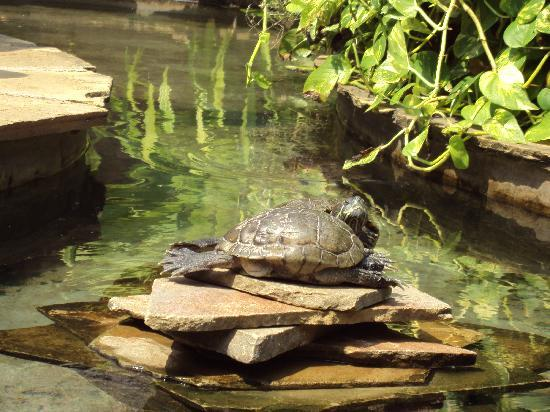 Voyager Beach Resort: The turtles in one of the ponds