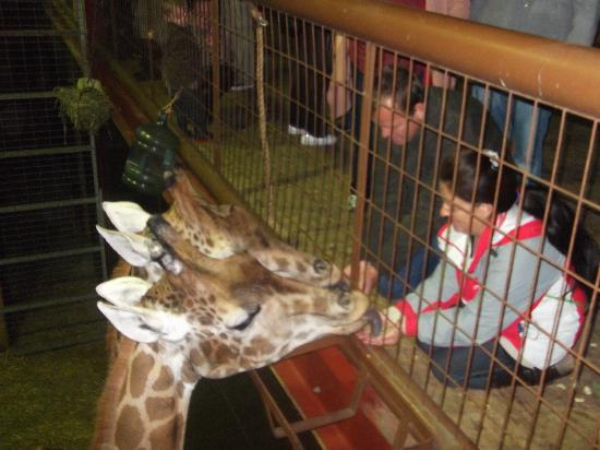 Flamingo Land ltd: feeding the giraffes