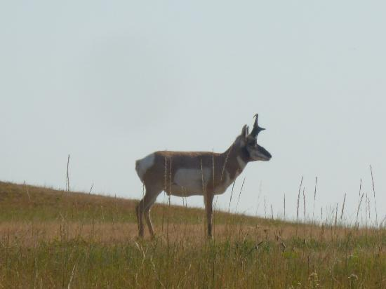Custer State Park: white tailed deer