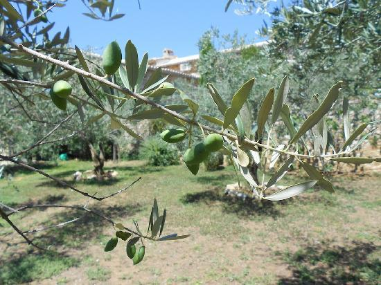 Mas d'Augustine: Olive Grove