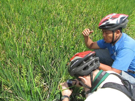 Bali On Bike: In the ricefield