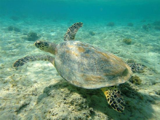 Gorgonia Beach Resort: tortue