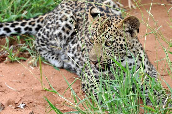 Kapama River Lodge: leopard cub