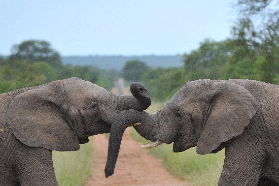 Kapama Private Game Reserve, Zuid-Afrika: young elephants playing